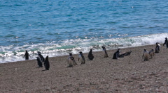 A group of Magellanic penguin on the beach at Valdes Peninsula in Argentina - stock footage