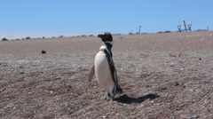 A Magellanic penguin walking on the beach at Valdes Peninsula in Argentina - stock footage