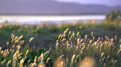Wild grasses at sunset on wind Stock Footage