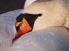 Swan having a rest - stock photo
