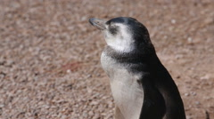 A close up of a Magellanic penguin with sound at Valdes Peninsula in Argentina - stock footage