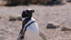 A Magellanic penguin walking at Valdes Peninsula in Argentina - stock footage