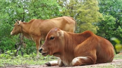 Young Brown Cow Chewing Grass Closeup - stock footage