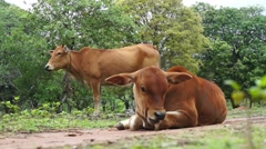 Young brown cow and mother chewing grass - stock footage