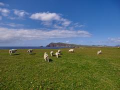Sheeps at the coast of Dingle, Ireland - stock photo