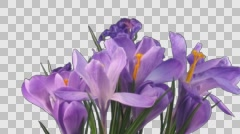Time-lapse of growing and dying purple crocus with ALPHA channel Stock Footage