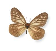 Brown butterfly isolated on white - stock photo