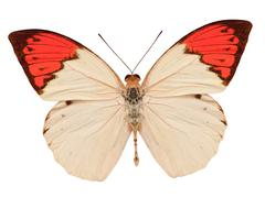 beige and red butterfly isolated on white - stock photo