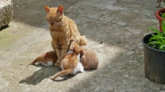 Cat feed young kittens. Arkistovideo