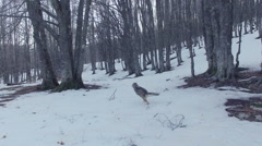 A wolf runs away from the camera in a snowy forest. Drone video. N. Stock Footage