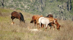Wild horses in Mongolia mountains - stock footage
