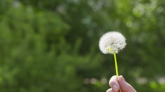 blowing white dandelion on sunny day slowmo - stock footage