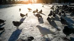 Toned image of pigeons walking on the snow at sunny day - stock photo