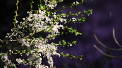 Early springtime snowfall and a blooming tree - stock footage
