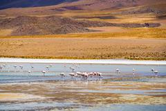 Flock of flamingo feeding in a laguna - stock photo