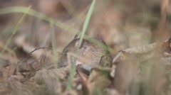 Field mouse hiding in a hole Stock Footage