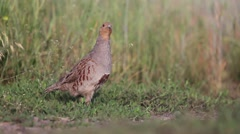 Grey partridge on the edge of the field Stock Footage