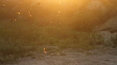 Flock sand martins of flying backlit Stock Footage