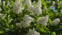 White lilac flowers on sunny day sways in slow motion Stock Footage