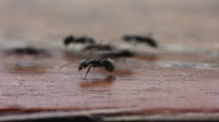 Many black ants Stock Footage