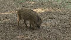 Wild boar (sus scrofa) piglet in striped coat, rooting Stock Footage