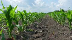 Green Corn Field Stock Footage