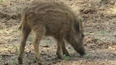 Wild boar (sus scrofa) piglet in striped coat, rooting - tracking shot Stock Footage