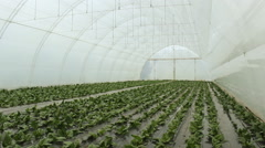 Agronomist in a greenhouse Spinach - stock footage