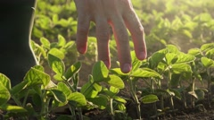 Responsible farmer examining young soybean plants Stock Footage
