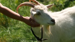 Hand stroking caresses a white goat Stock Footage