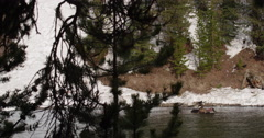 Eagles and ravens eat dead bison in river behind trees blowing in wind - stock footage