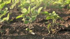 Camera sliding through young soybean crop rows Stock Footage