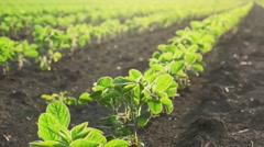 Camera sliding through young soybean crop rows in cultivated field Stock Footage