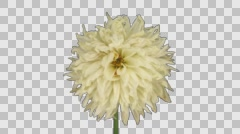 Time-lapse of dying white dahlia with ALPHA channel - stock footage