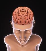 Human Brain Anatomy - stock illustration