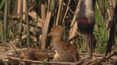 Common Crane with hatchlings - stock footage