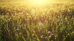 Morning grass with dew drops and bubbles illuminated by bright sunlight. The Stock Footage