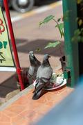 pigeons on the streets of Pattaya, Thailand. from trough peck rice - stock photo