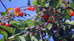 Red cherry on branchlet Stock Footage
