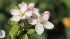 Apple tree blossoming flowers - stock footage