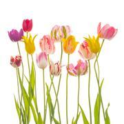 many colorful beautiful tulips - stock photo