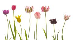 many unusual variegated beautiful tulips - stock photo