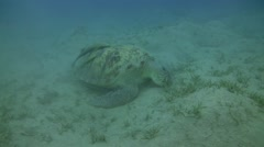 Green turtle - chelonia mydas in seagrass Stock Footage