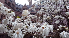 White spring flowers. Rain drops on the blossoming tree Stock Footage