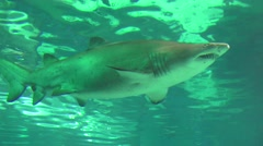 Bull Shark in ocean Stock Footage