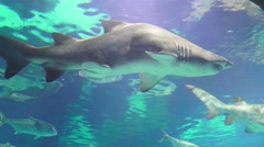Sharks, large dogfish and other sharks plying the oceans Stock Footage