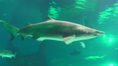 Bull Shark in ocean - stock footage