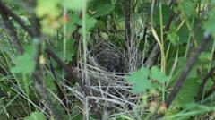 Nesting birds Chicks in the nest Stock Footage