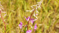 Chamerion angustifolium, known as fireweed Stock Footage