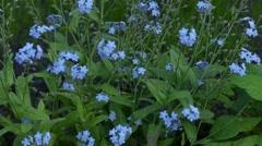 Myosotis is flowering plant, family Boraginaceae Stock Footage